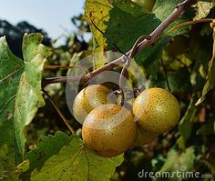 A cluster of white grapes growing in a vineyard.