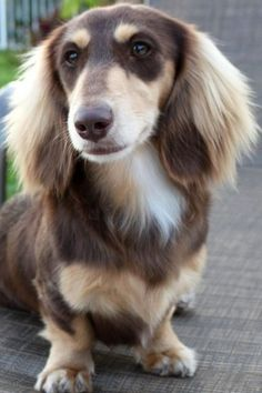 Longhaired mini dachshund