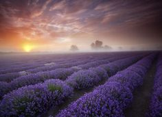 Fields of lavender ... #color #photography