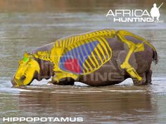 Grands gibiers africains - Le blog de Alex.bowhunter Africa Hunting, Hunting Guide, Hippopotamus, Impala, Elephant, Animals, Badger, Dog, Game
