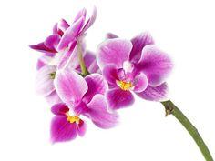 Prečo vám nevydržia orchidey? Ak vám stále vyschnú alebo nekvitnú, možno robíte tieto chyby! | Casprezeny.sk Flower Wallpaper, Indoor Plants, Gardening, Flowers, Lawn And Garden, Inside Plants, Horticulture