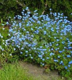 8. MYASOTIS also known as FORGET-ME-NOT they range in colour from bright blue to pale blue, some tinged with pink, with soft small leaves, and flower in late Spring for about four months Forget-me-nots are about 6 - 8 inches high and quite bushy. They seed themselves abundantly, so they never go away if the position is right for them. They grow in sun and shade. After a few years, they tend to spread and become invasive, but it's easy to control them by digging up unwanted plants.