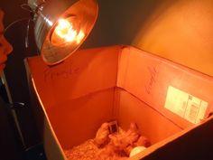 Chicken Brooder Heat Lamp