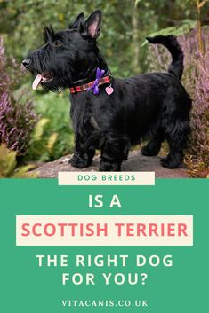 Would The Scottish Terrier be The Right Breed for You and Your Family?  | types of dog breeds - The Scottish terrier breed traces its history back to the highlands of Scotland. Many believe that this breed is the oldest originating in Scotland and possibly one of the original terrier breeds. Considering the Scottie for your family? Read my own personal experience of owning this unique breed of dog. Vita Canis | small dog breed | little dog breed | list of dog breeds #dogbreeds…