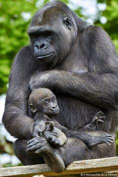 Un bébé gorille au Zoo de La Palmyre