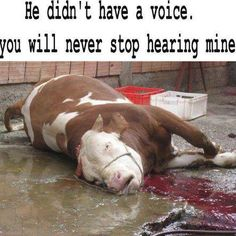Image result for calf slaughter images for the rennet