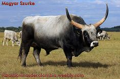 Cattle Farming, Livestock, Farm Animals, Animals And Pets, Bison, Bulls Team, Wooly Bully, Bull Cow, Exotic Pets
