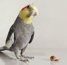 normal grey cockatiel female tumblr - Google Search