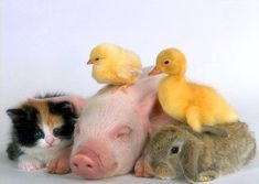 In my dream house, all these animals would live with me. And stay babies forever (and not poop in the house =\): Farm Animals, Cuteness Overload, Adorable Animals, Animal Friends, Baby Animals, Happy Family, Animal Babies, Cute Babies