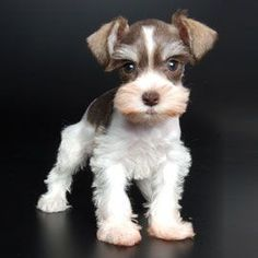 Ranked as one of the most popular dog breeds in the world, the Miniature Schnauzer is a cute little square faced furry coat. Teacup Schnauzer, Miniature Schnauzer Puppies, Schnauzer Puppy, Teacup Puppies, Cute Puppies, Dogs And Puppies, Schnauzers, Schnauzer Grooming, Teacup Chihuahua