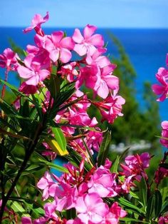 Oleander bushes are found everywhere in Bermuda Central America, South America, Bermuda Travel, British Overseas Territories, Holiday Places, British Colonial, Gulf Of Mexico, Caribbean Sea, Another World