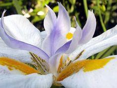 Flor de Iris: Plantio, Cultivo, Cuidados, Fotos, Informações