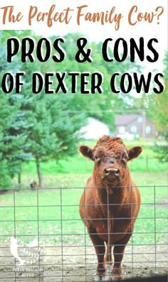 """DEXTER CATTLE: Are Dexter Cows the """"Perfect Family Cow."""" Get the truth and know the good, the bad, and the ugly behind raising Dexter cattle on a small farm or homestead. Miniature Cow Breeds, Miniature Cattle, Mini Cows, Mini Farm, Cattle Farming, Livestock, Miniture Cows, Types Of Cows, Dexter Cattle"""