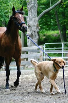 Dog walking horse -- so cute!
