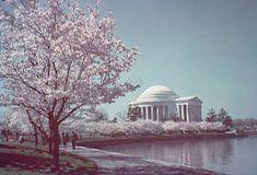 Kwanzan Cherry Tree Kwanzan Cherry Tree Stands