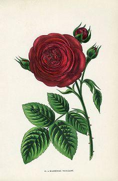 Marechal Vaillant Rose Reg Price: $95 Sale Price: $45 Jamain Rose Prints 1873