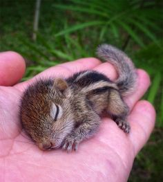 The Orphaned Baby Sri Lankan Palm Squirrel So Tiny In My Palm by Paul Williams