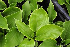Hosta 'Winter Snow' - Funkia