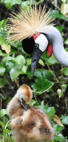 A grey crowned crane looks after her chick, Germany
