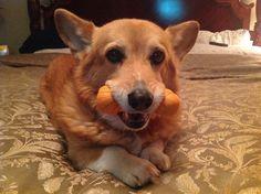 The Daily Corgi: Wednesday Adoptables Update: Pippa! #corgi