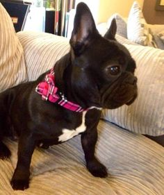We love French Bulldogs here at Top Pooch!! Especially when gory wear our collars!!! Toppooch.com #frenchie #frenchbulldog