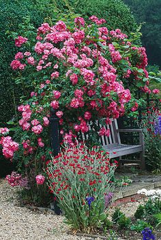 Wooden bench with climbing american pillar rose trained over trellis, with delphiniums and lychnis coronaria