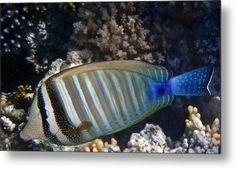 Red Sea Zebrasoma Closeup Metal Print #wallart #fishart #sealife
