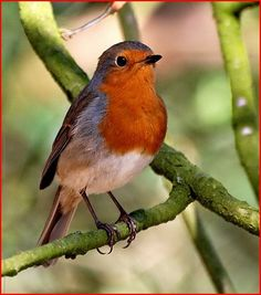 E~~~ROBIN (Erithacus rubecula), known simply as the robin or robin redbreast in the British Isles, is a small insectivorous passerine bird, specifically All Birds, Little Birds, European Robin, Robin Redbreast, Flightless Bird, Robin Bird, Colorful Birds, Art Plastique, Bird Art