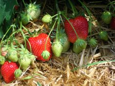home_image Wilderness, Wildlife, Strawberry, Fruit, Image, Food, Asparagus, Berries, Culture