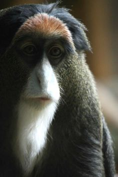 De Brazza's monkeys forced to leave The Calgary Zoo because of flood damage.