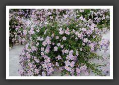 Un bacopa pour une cascade de fleurs au pied de l'akebia