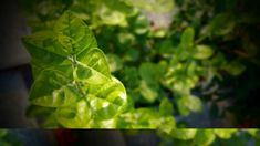 #agriculture #close up #depth of field #ecology #environment #flora #food #fresh #freshness #garden #gardening #green #grow #growth #healthy #home garden #houseplants #leaves #lush #outdoors #plants #spice #summer #sunl