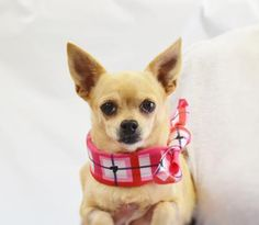 3 14 2016. Adopt Kimberly, a lovely 5 years 5 months Dog available for adoption at Petango.com. Kimberly is a Chihuahua, Short Coat and is available at the National Mill Dog Rescue in Colorado Springs, Co. www.milldogrescue.org