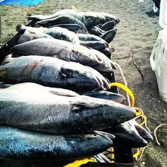 Tips to Successfully Dipnetting the Kenai-how to catch a years worth of salmon in 36 hours! #ontheblog now #salmon #subsistence #Alaska #linkinprofile