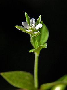 Lehtoarho, Moehringia trinervia - Kukkakasvit - LuontoPortti