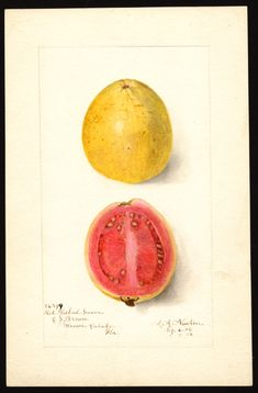 Artist:     Newton, Amanda Almira, ca. 1860-1943  Scientific name:     Psidium guajava  Common name:     guavas  Variety:     Red Fleshed  Geographic origin:     Miami, Dade County, Florida, United States  Physical description:     1 art original : col. ; 17 x 25 cm.  Specimen:     36599  Year:     1906  Notes on original:     E.P. Brown  Date created:     1906-09-07