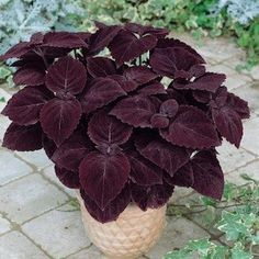 Giant Exhibition Palisandra coleus seeds - Huge deep purple-black leaves - Annual Flower Seeds