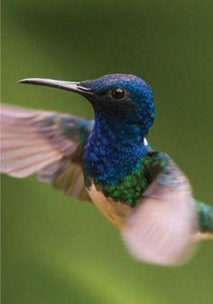 Hummingbirds of Mindo, Ecuador... I've seen these birds. So beautiful <3