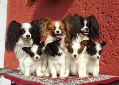 Margenis Papillon Family
