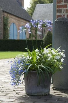Whether you want to plant for the first time or renovate your garden, consider getting some Agapanthus Peter Pan.There are many cool things about this beautiful flower that will probably entice you. 10 Amazing Facts Of Agapanthus Peter Pan - African Lily Container Flowers, Container Plants, Container Gardening, Cottage Garden Plants, Garden Pots, Agapanthus In Pots, Outdoor Plants, Outdoor Gardens, Little Gardens