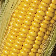 Golden Jubilee corn:  An old-time corn, non-gmo, reported to be the stuff we ate when we were growing up. Can't wait! (West Coast Seeds)