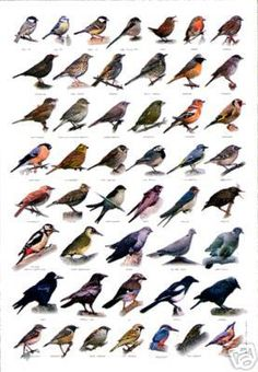 British Birds wildlife poster