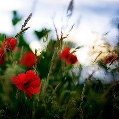 Poppies!  Still light by *Al-Baum on deviantART