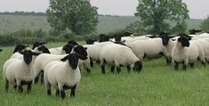 suffolk sheep (I wish mine were this fat and clean) nice pasture