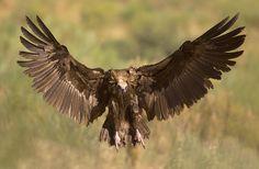 Vogel foto: Aegypius monachus / Monniksgier / Cinereous Vulture