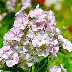 Höstflox - Phlox paniculata 'Polemoniaceae'. Rikligt med små, doftande, violetta blommor på höga stjälkar i juli-september. 50-100 cm hög.
