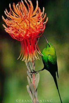 Malachite sunbird, Nectarinia famosa, feeding on protea flower, Leucospermum reflexum, South Africa