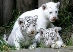 El ZOO de Buenos Aires presenta a los trillizos de Tigre de Bengala Blanco.