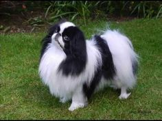 Can you name this dog? what kind of dog is this. do you know what country it comes from? Can you name this dog? what kind of dog is this. do you know what country it comes from? Puppy Pictures, Cute Animal Pictures, Puppy Pics, Japanese Chin Puppies, All Breeds Of Dogs, What Kind Of Dog, Group Of Dogs, Kinds Of Dogs, Pekingese
