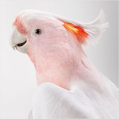 Matilda, Major Mitchell's Cockatoo by Leila Jeffreys  She has photographed the birds in a traditional studio portraiture setting to capture their real characters.